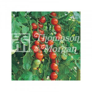 Tomate Gardeners Delight - Tomate-cerise