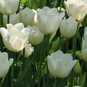 Tulipe Triomphe White Dream