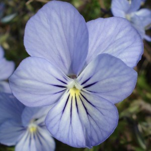 Viola Cornuta Icy but spicy