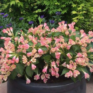 Weigelia All Summer Peach