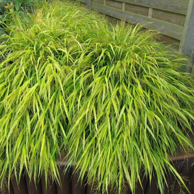 Herbe du Japon - Hakonechloa macra All Gold