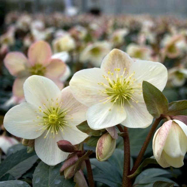 Hellebore nigercors Candy Love® - C2,5L