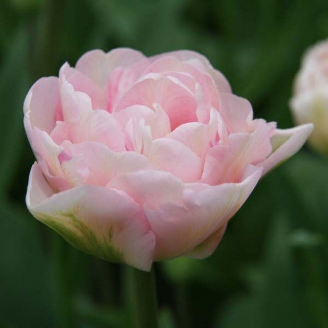 Tulipe Double Angelique