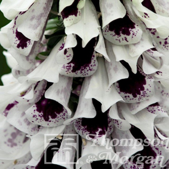 Digitalis Pam's Split - Digitale pourpre