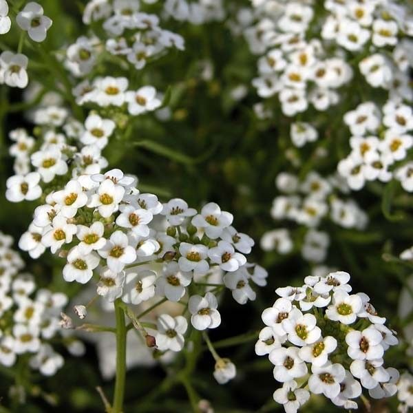 Alysse odorant - Lobularia Snow Princess