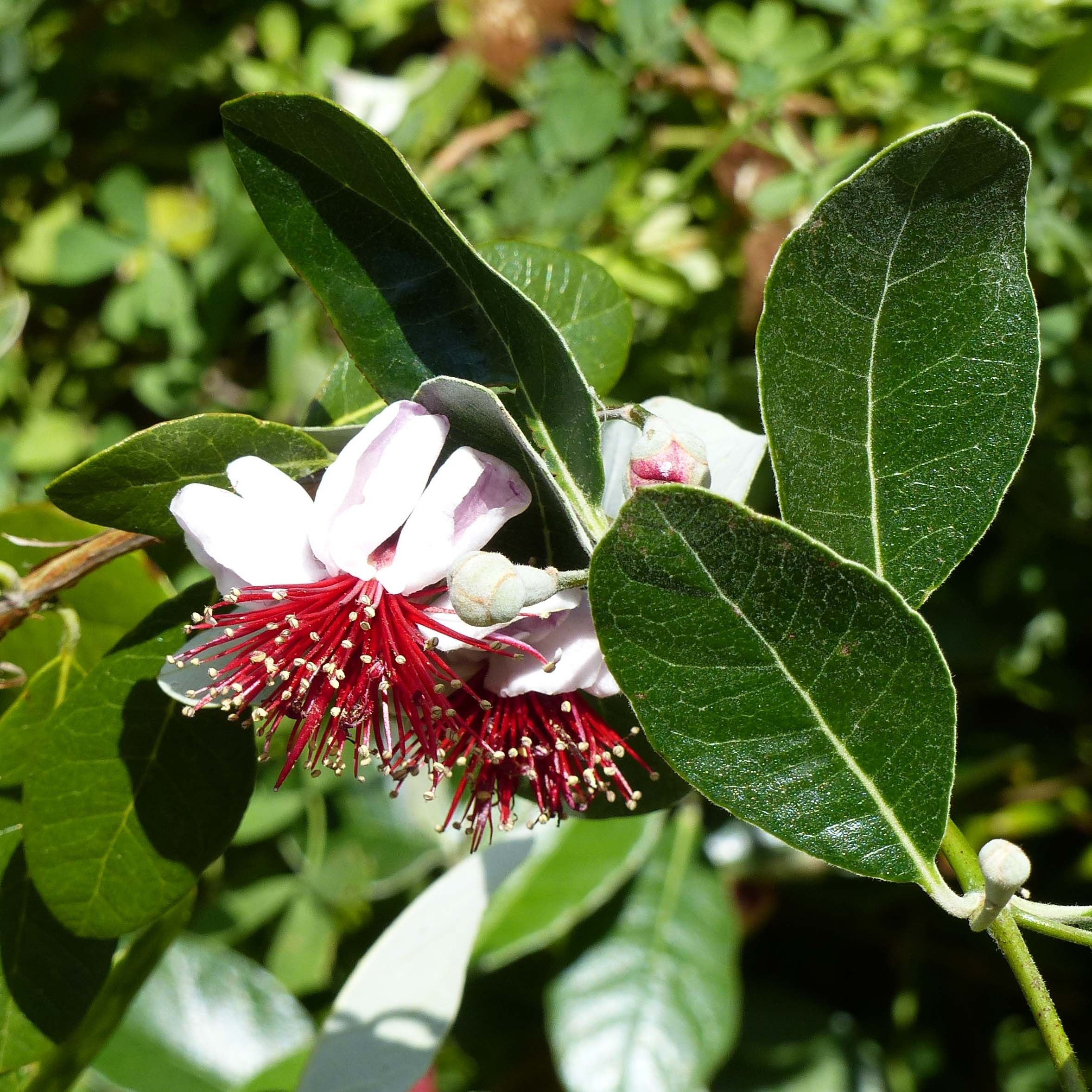 Acca sellowiana Cooolidge  - Feijoa autofertile