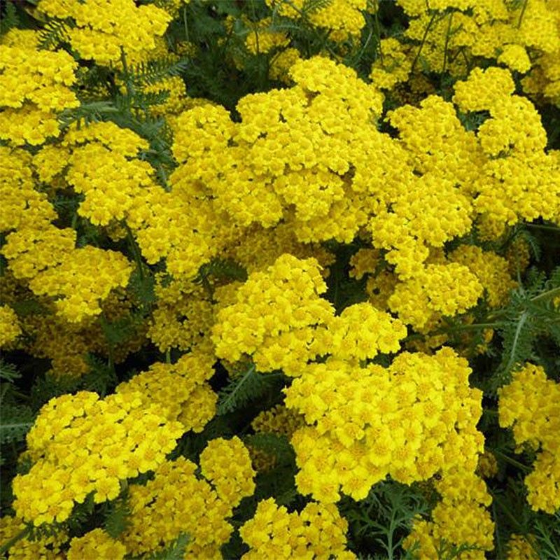 Achillea hybride Little Moonshine