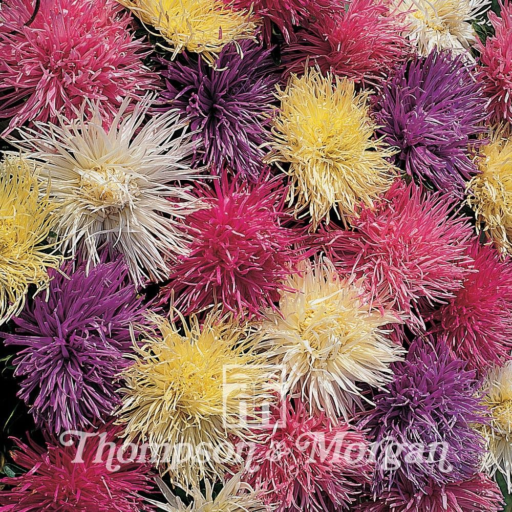 Aster Spider Chrysanthemum Mixed