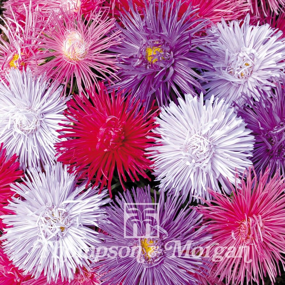 Aster Starlight Mixed