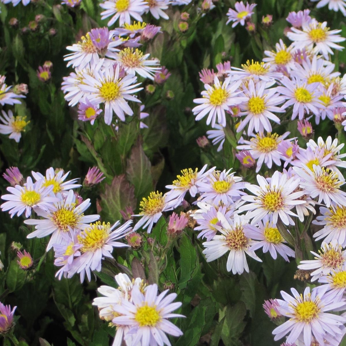 Aster ageratoides Stardust