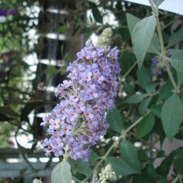 Buddleia Lochinch  - Arbre aux papillons