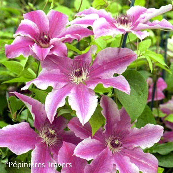 Clématite - Clematis Carnaby