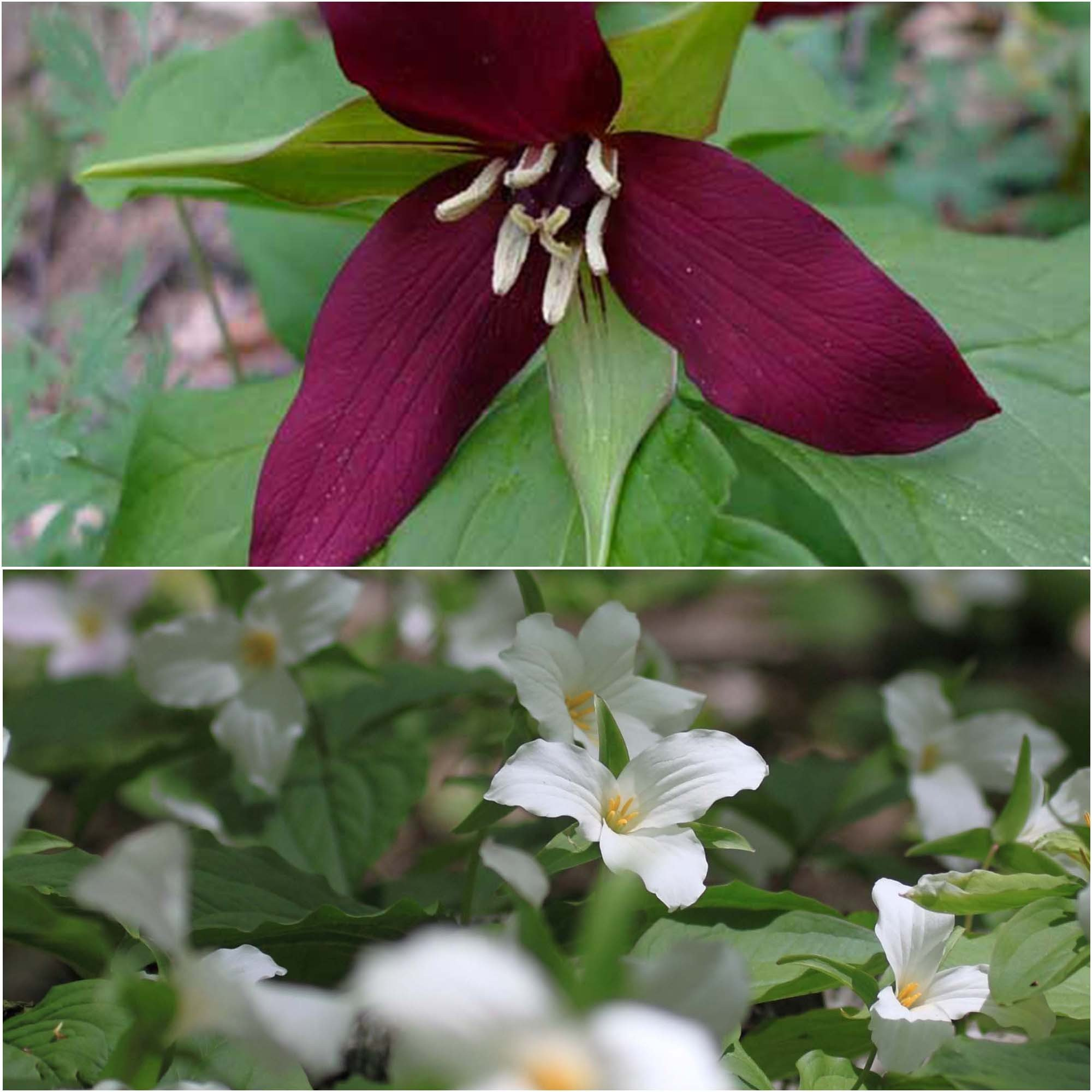 Collection 2 Trilliums