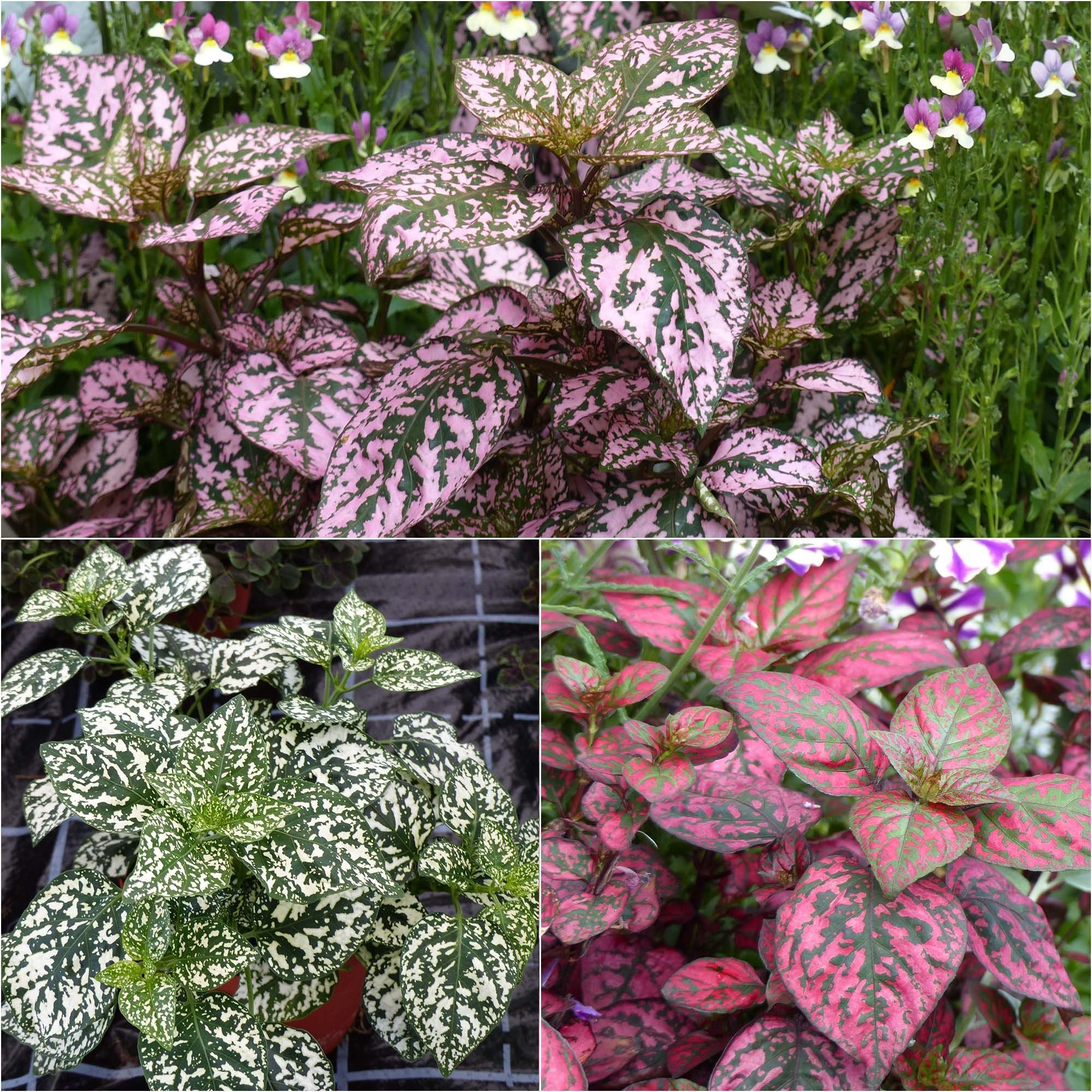 Collection 3 Hypoestes Hippo