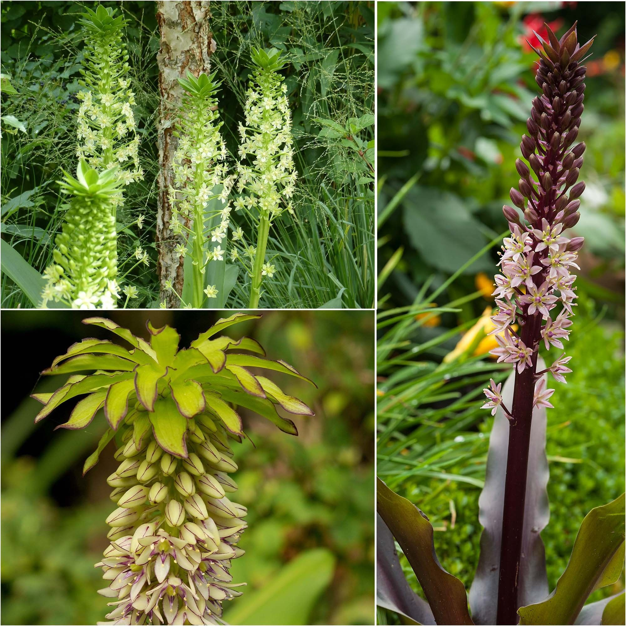 Collection 5 Eucomis