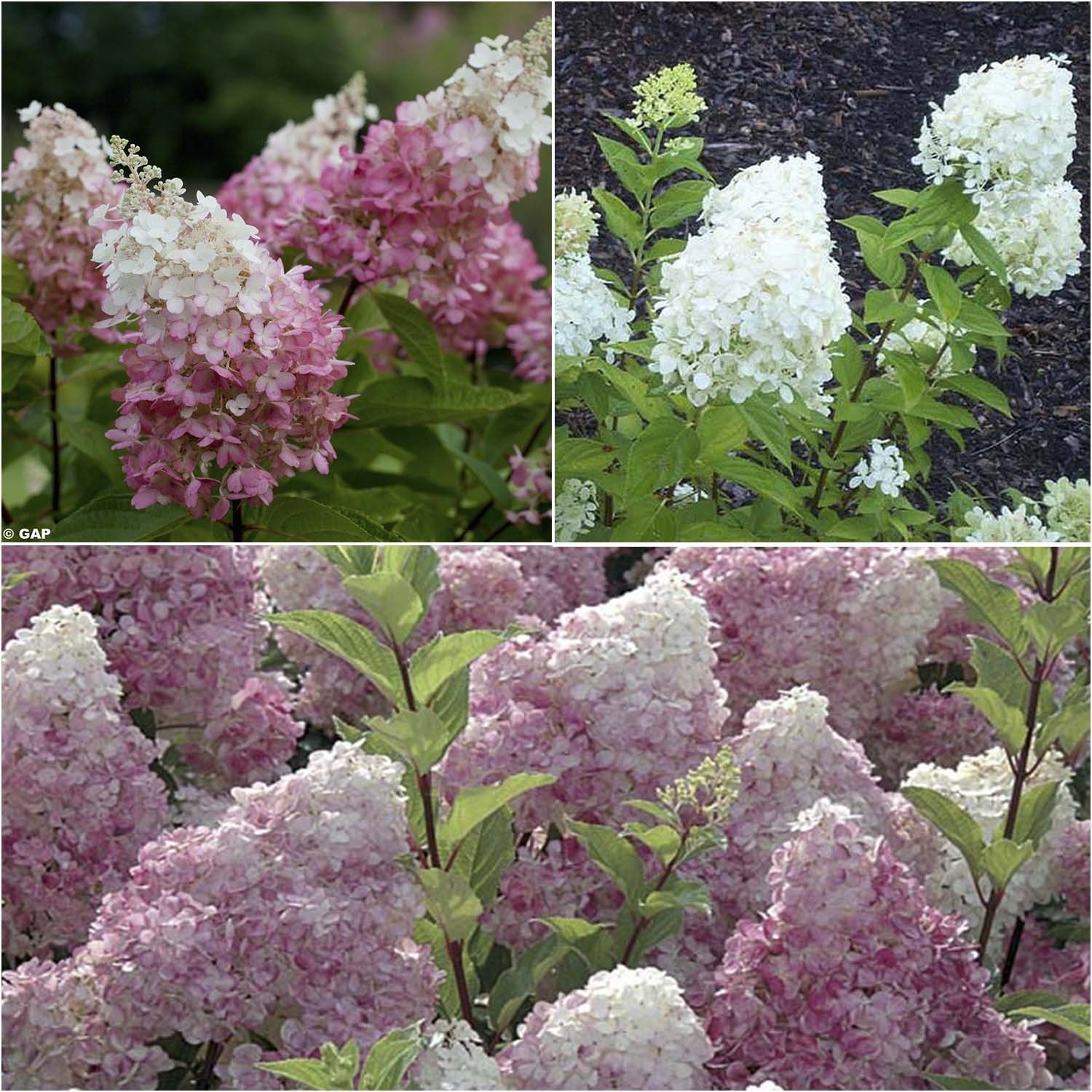 Collection Hortensias Paniculatas