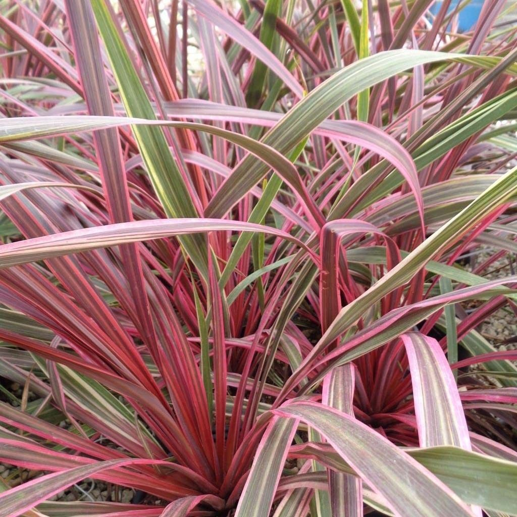 Cordyline Can Can