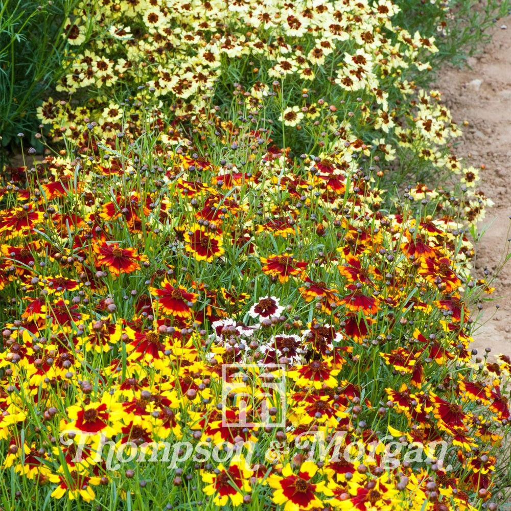 Graines de Coréopsis hybrides Incredible Dwarf Mix - Coreopsis X Incredible Dwarf Mix