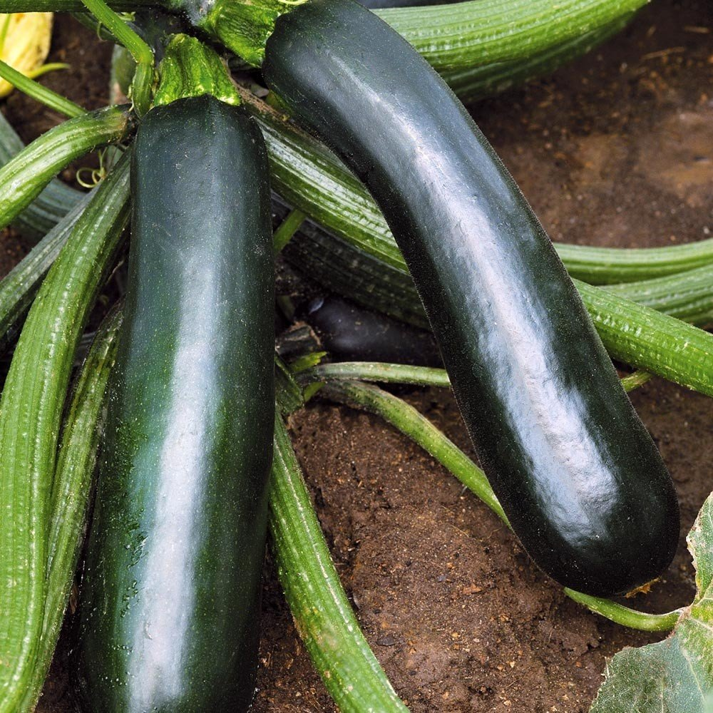 Courgette Easy Pick Green F1