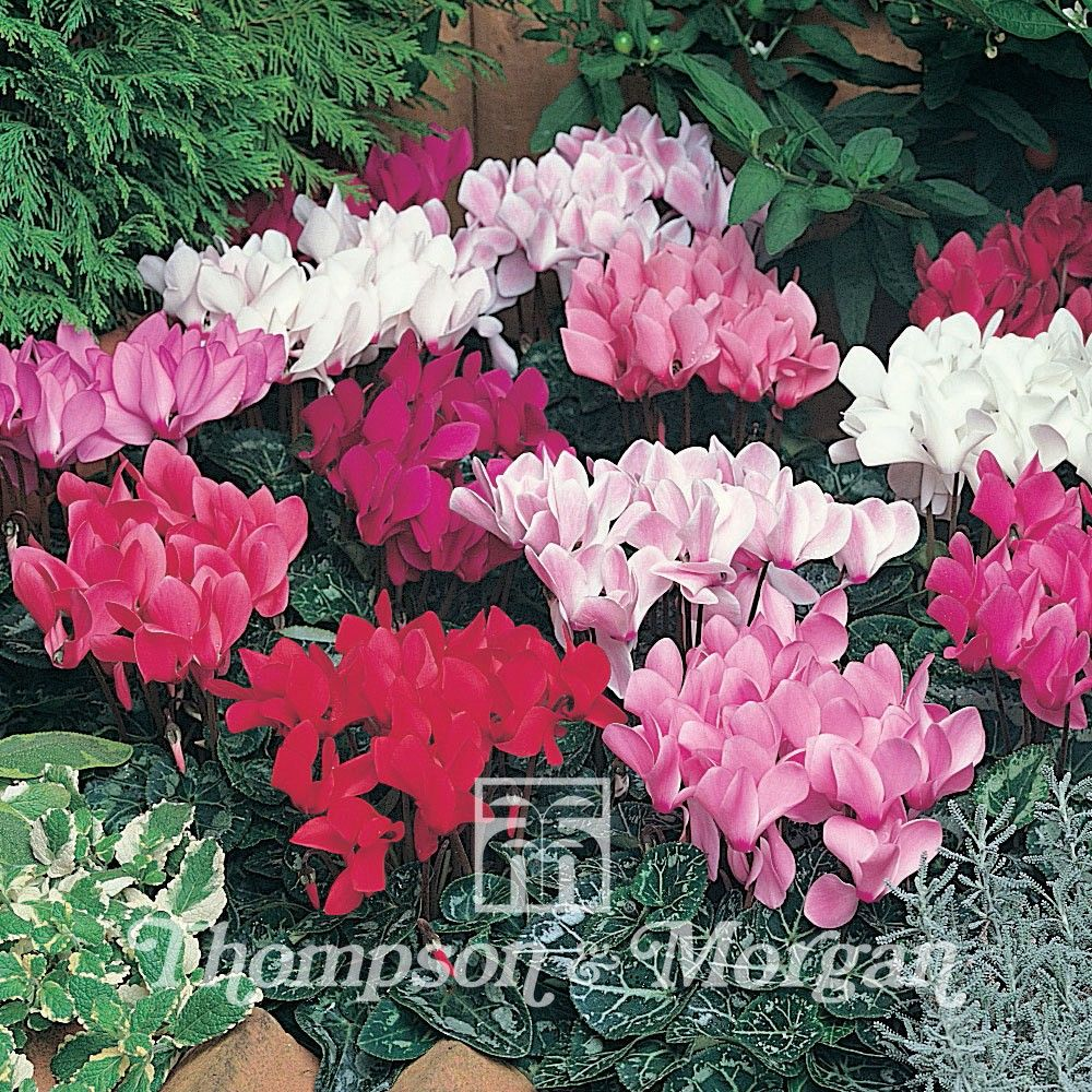 Graines de Cyclamen de Perse Lazer Mixed F1 - Cyclamen persicum grandiflorum Lazer Mixed F1