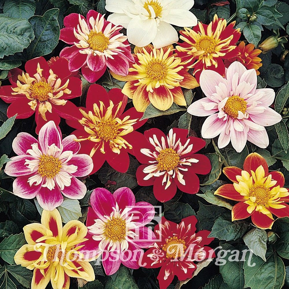 Dahlia  Collarette Dandy