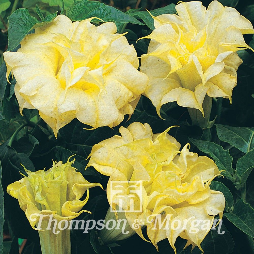 Graines de Datura Double Golden Queen - Datura metel Double Golden Queen