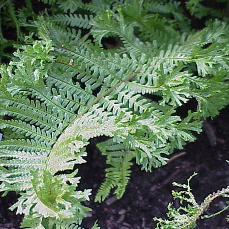 Fougère, Dryopteris affinis Cristata