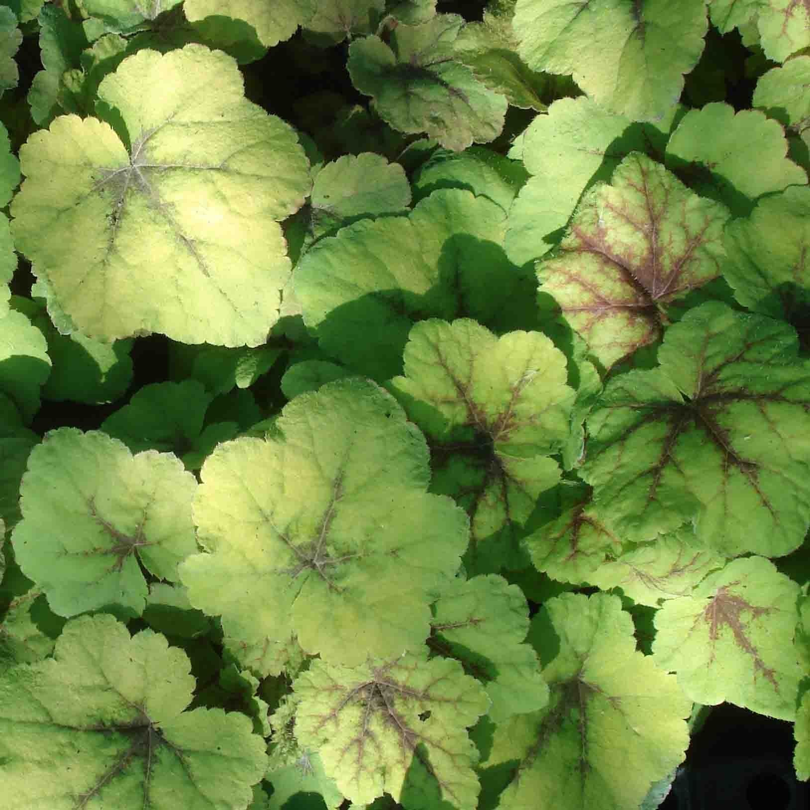 Heucherella Citrus shock