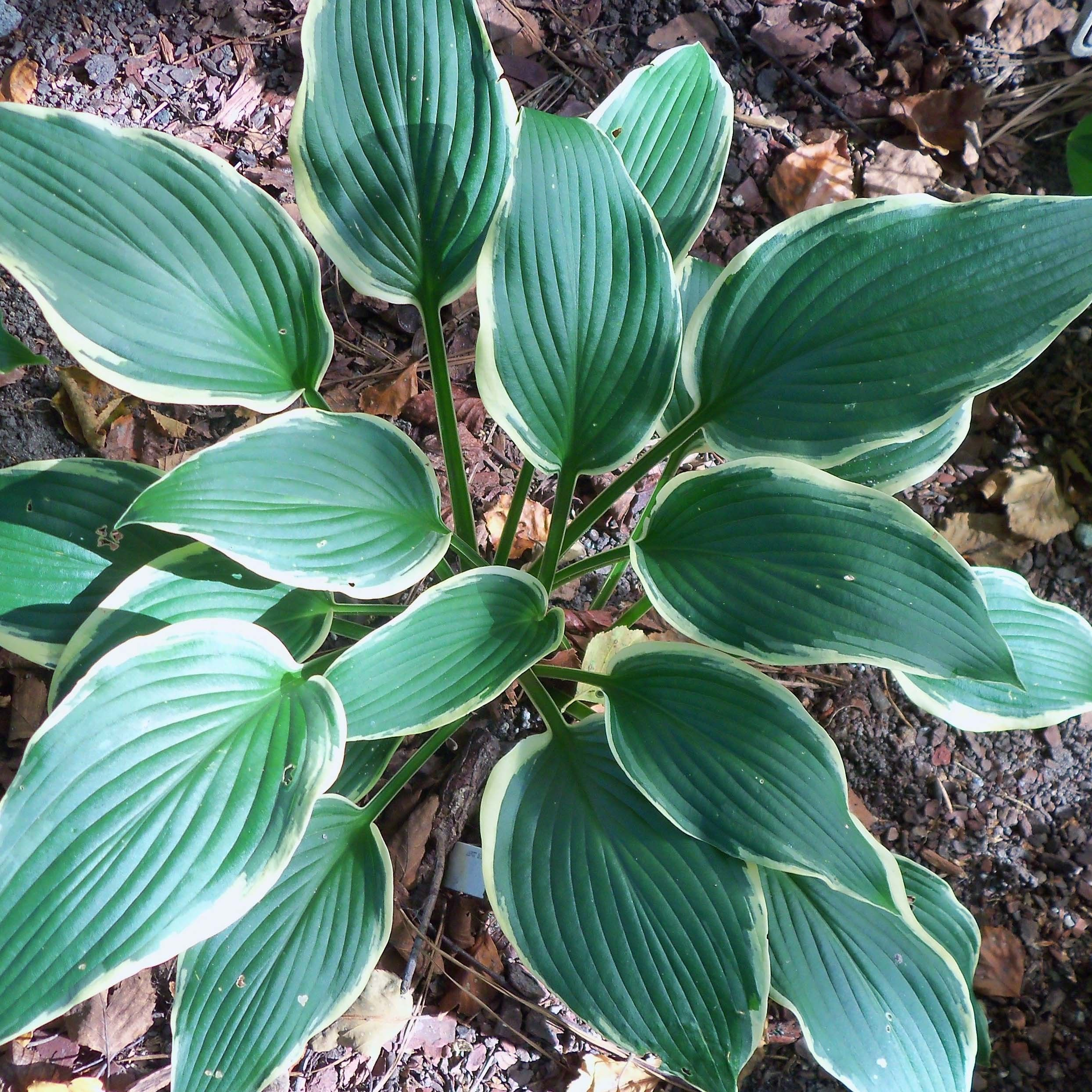 Hosta North Hills