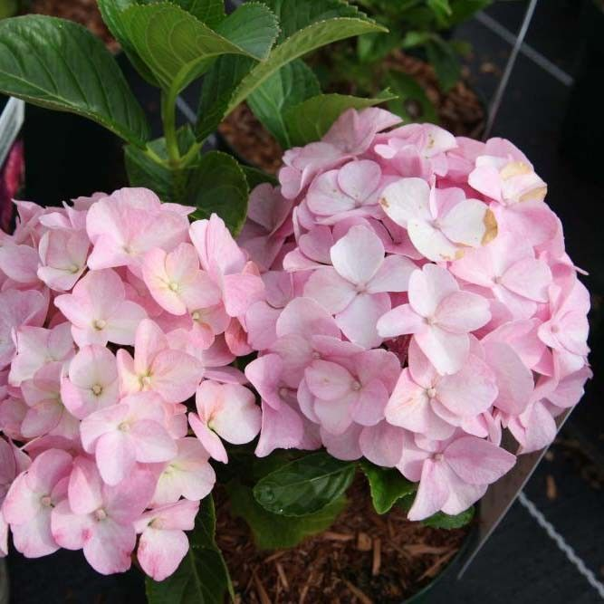 Hortensia  - Hydrangea macrophylla Belle Séduction