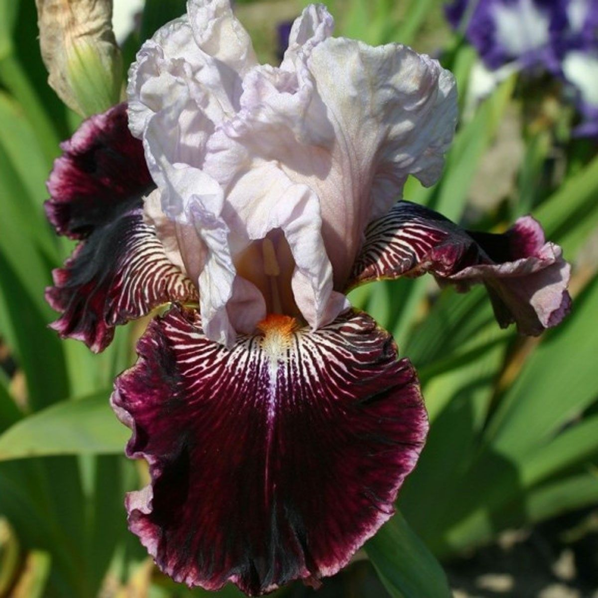 Iris germanica Amethyst Dancer - Iris des jardins