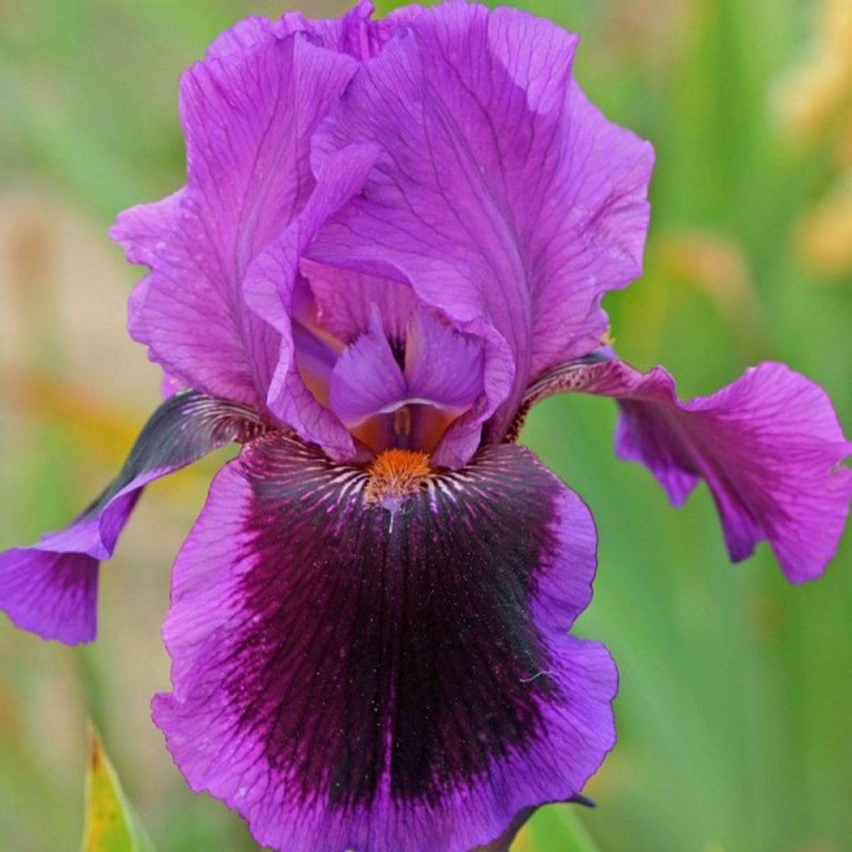 Iris germanica Pagan Dance - Iris des jardins