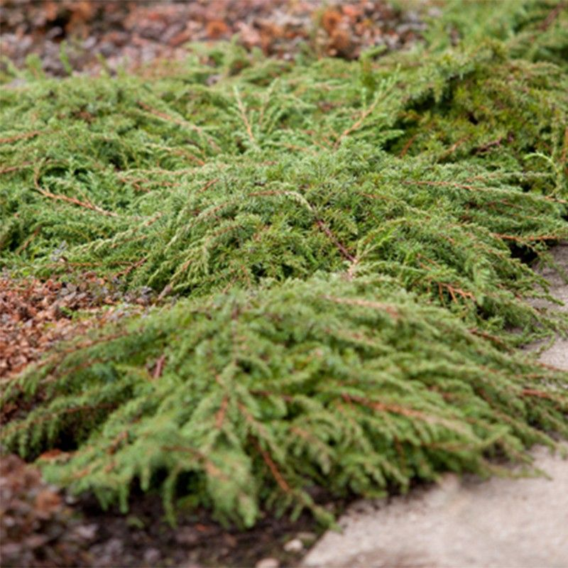 Juniperus communis Green Carpet - Genévrier commun
