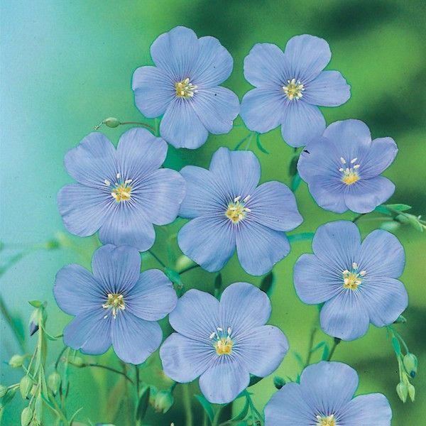 Lin - Linum grandiflorum 'Blue Dress'