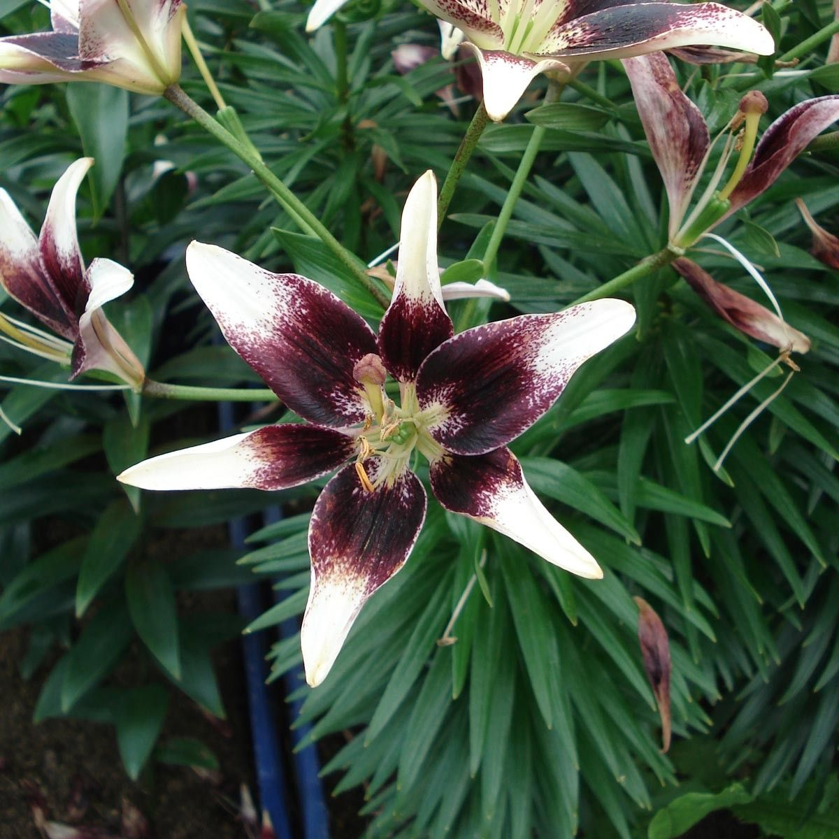 Lilium Netty's pride - Lis asiatique