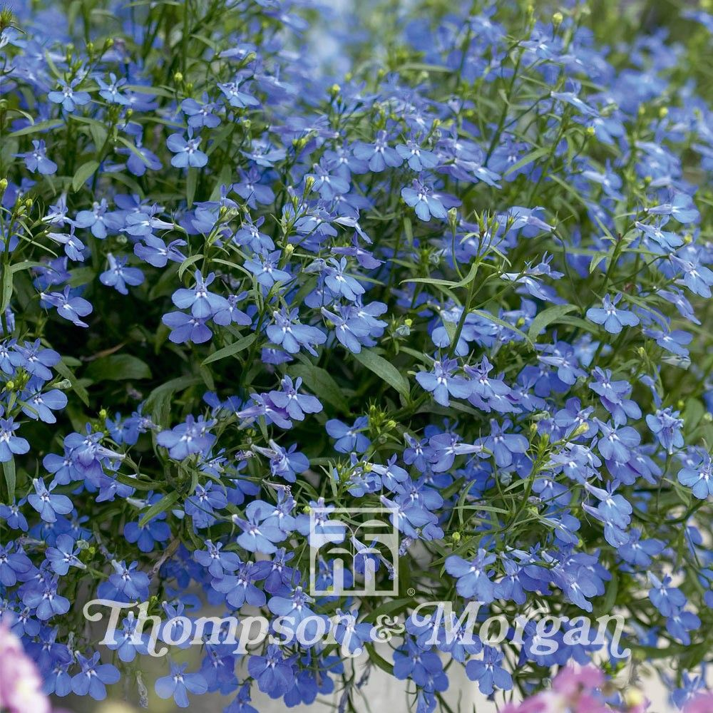 Lobelia Erinus Cambridge Blue