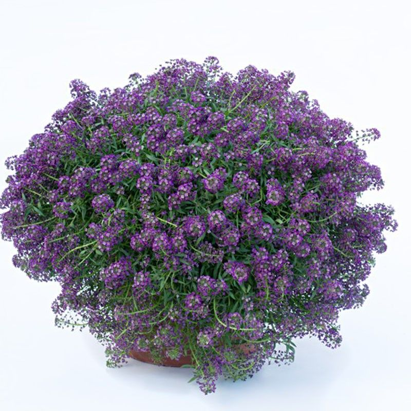 Lobularia Purple Stream - Alysse odorant