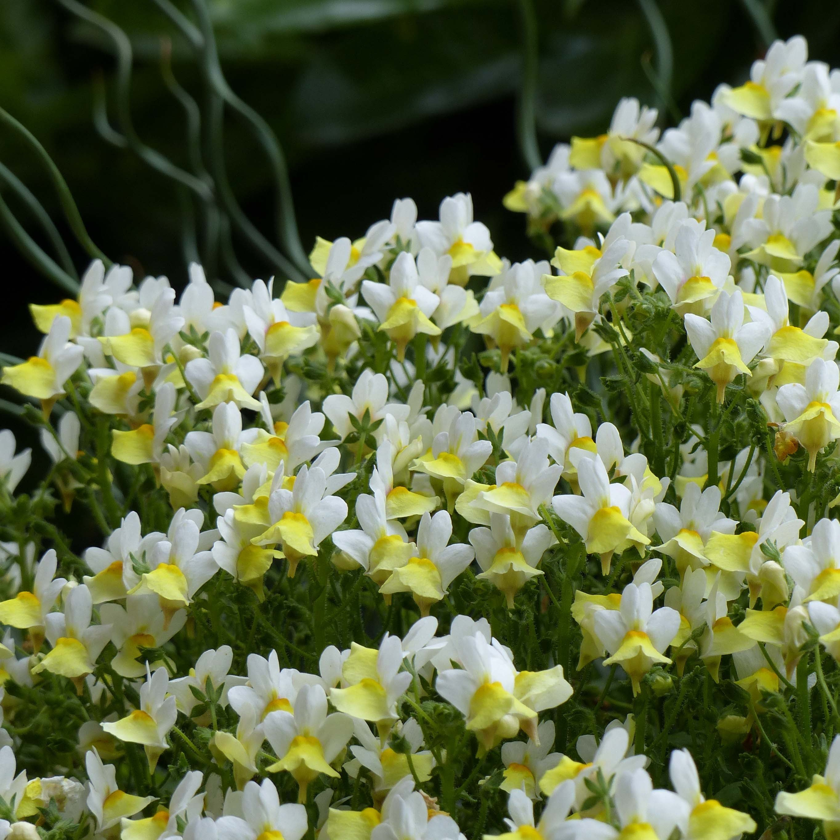 Nemesia Fairy Kisses Citrine Mini-mottes