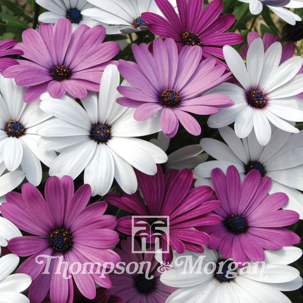 Osteospermum Hybrida Passion Mixed