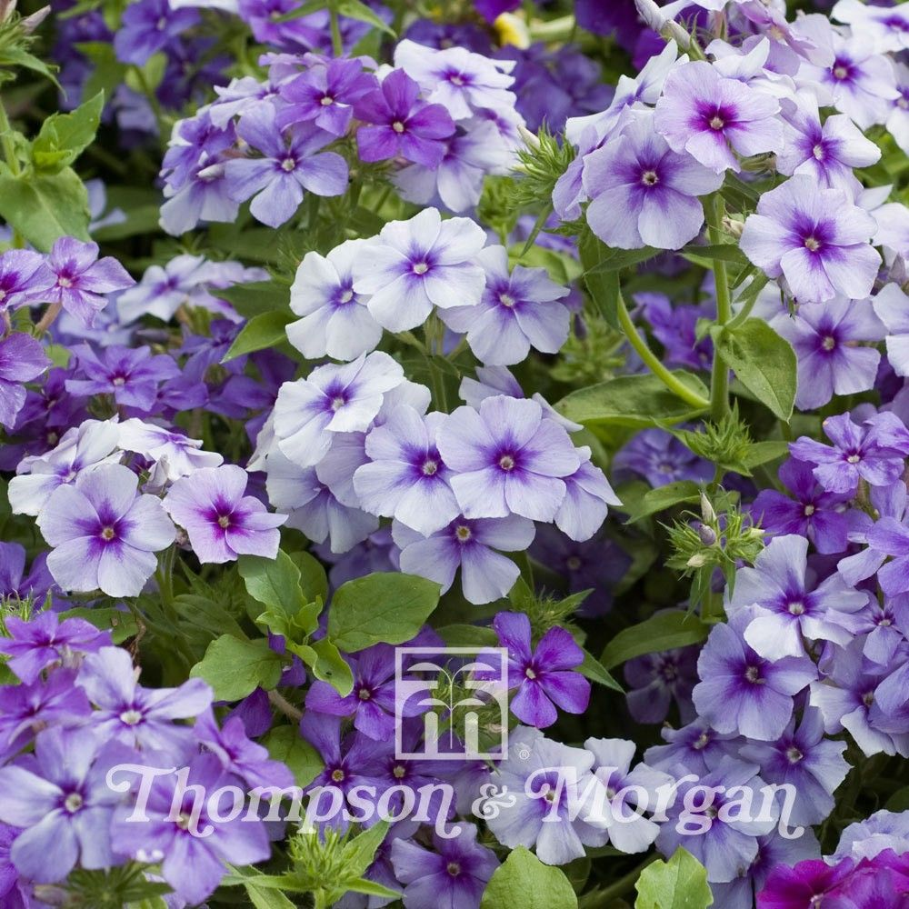 Phlox Drummondii Moody Blues