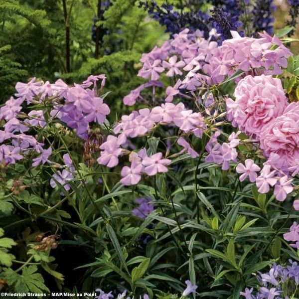 Phlox carolina Bill Baker