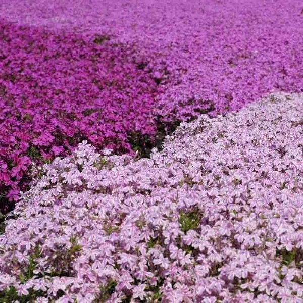 Collection Phlox Mousse