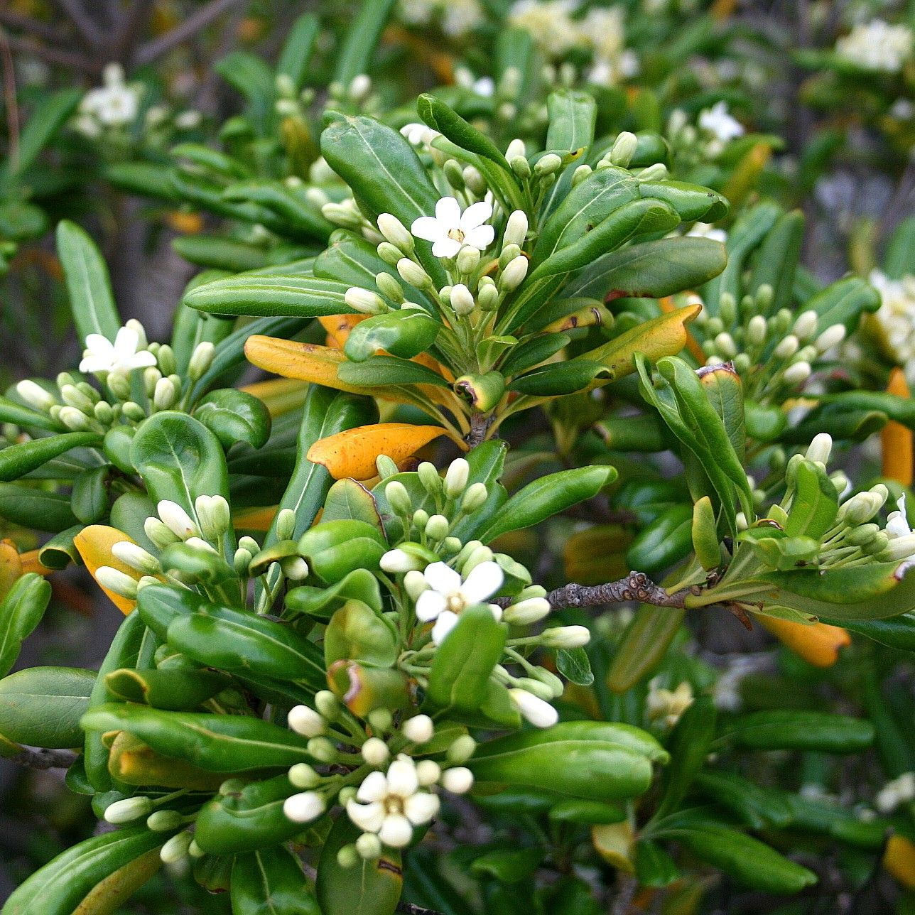 Pittosporum tobira - Pittospore du Japon