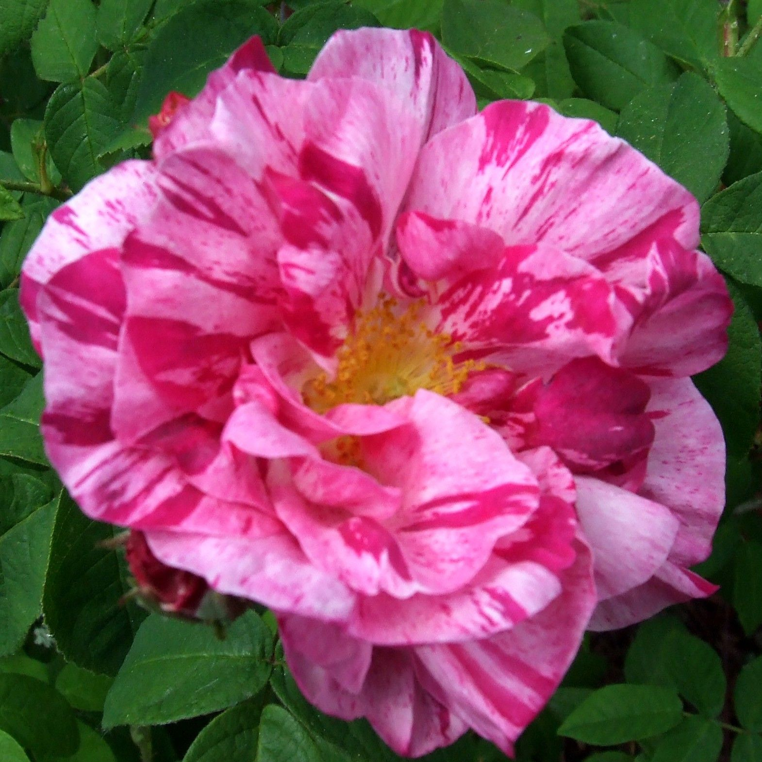 Rosa x gallica Versicolor - Rosier ancien gallique