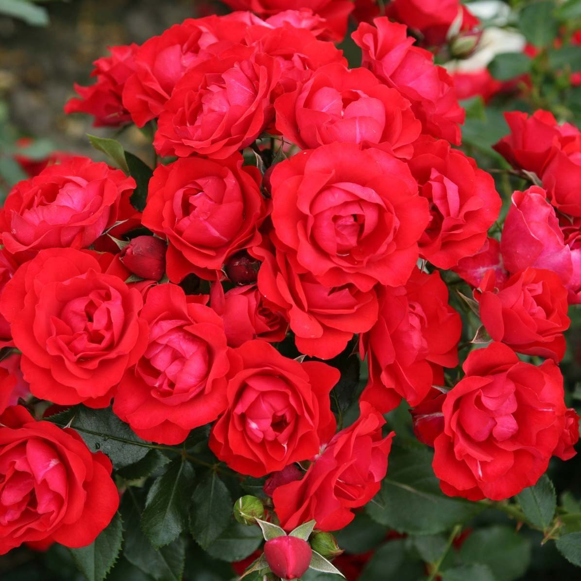 Rosier Rigo Black Forest Rose
