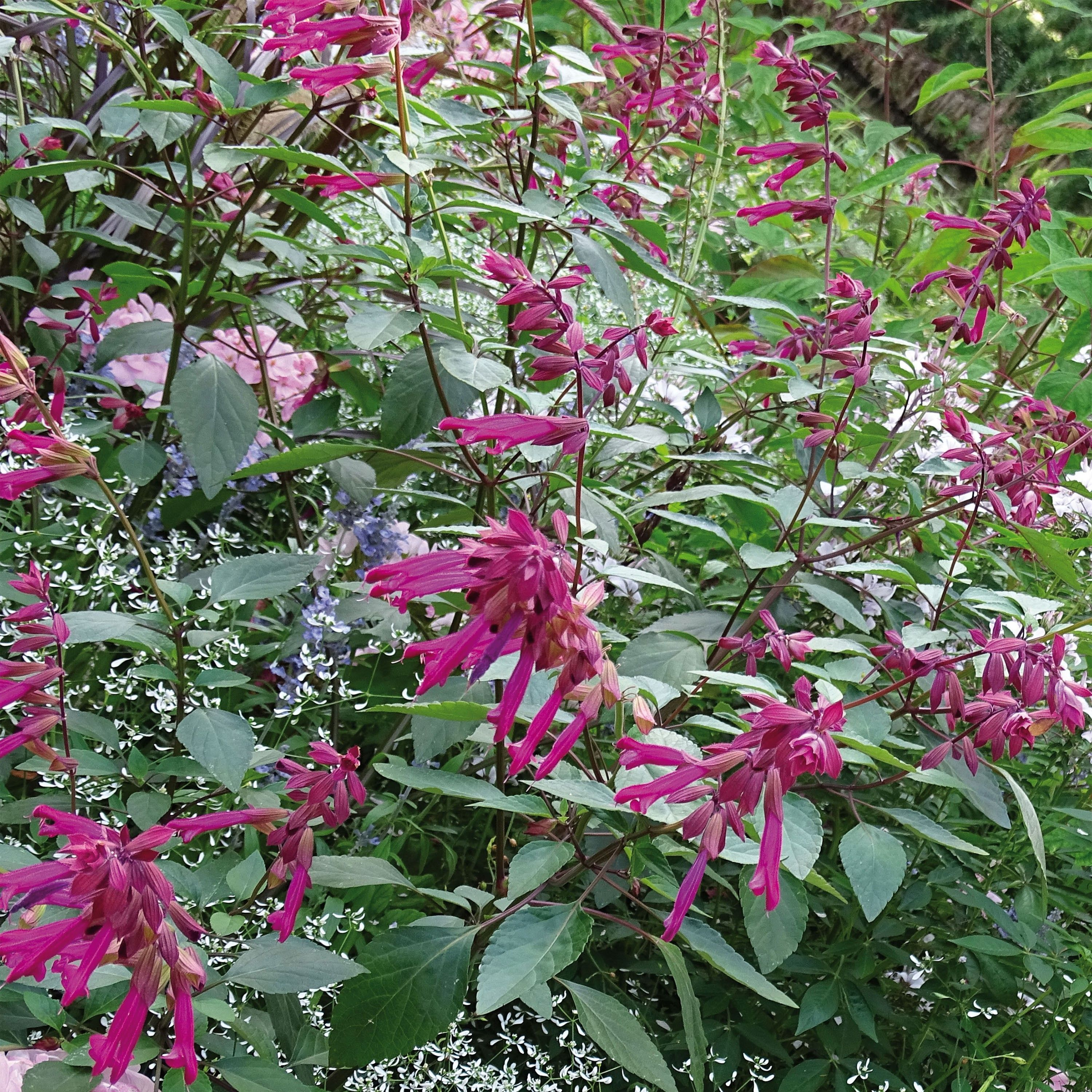 Sauge Love and Wishes - Salvia hybride