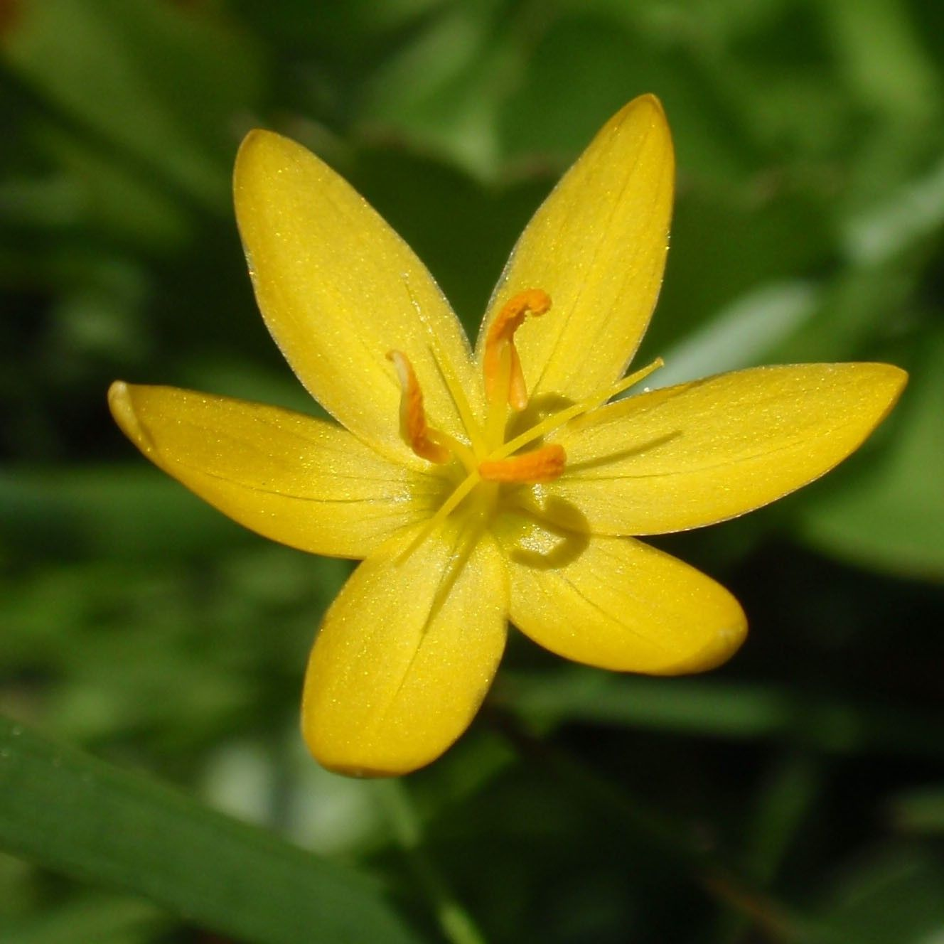 Sisyrinchium californicum - Bermudienne de Californie