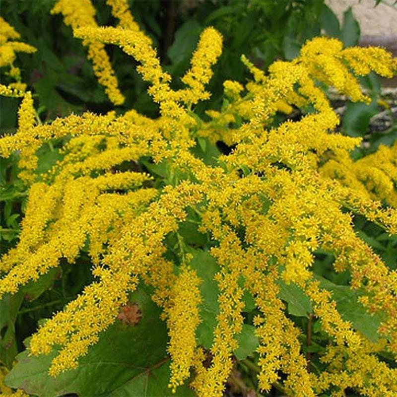 Solidago Gold King - Verge d'or