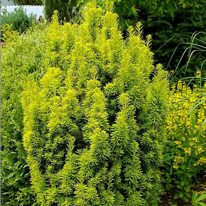 Taxus baccata David - If colonnaire panaché