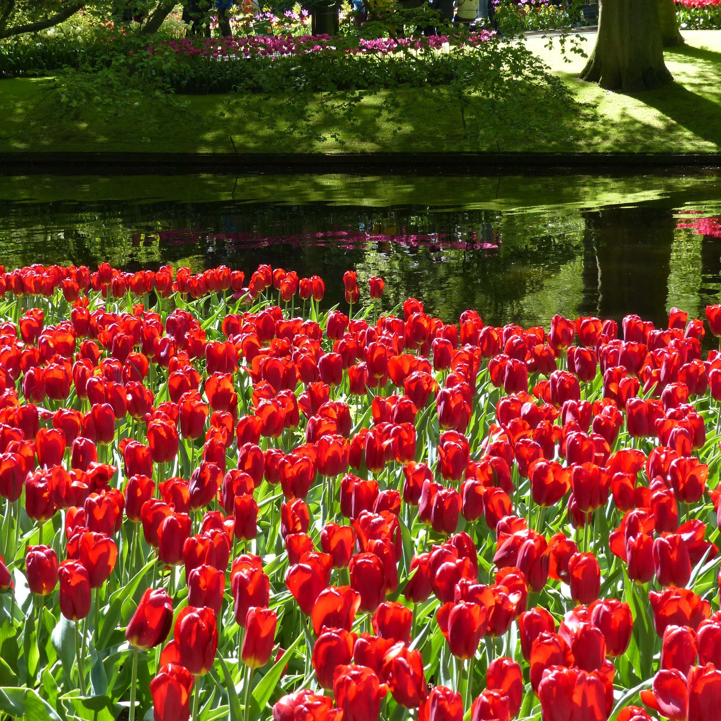 Tulipe Triomphe Strong Love